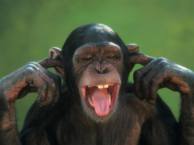 chimpanzee-with-its-fingers-in-its-ears